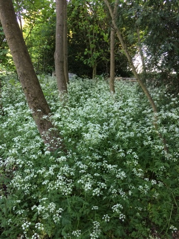 This cow parsley we are keeping.